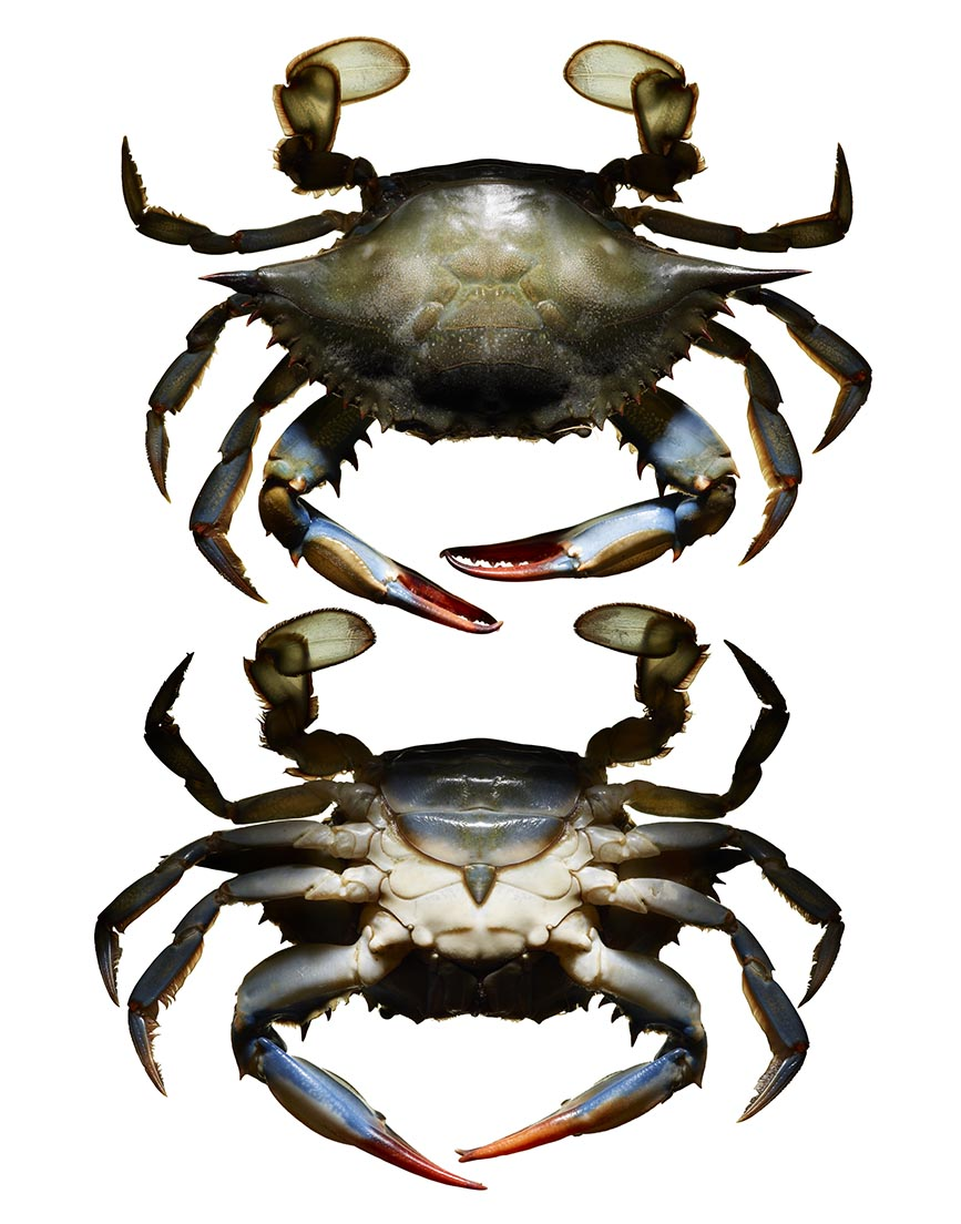 LEVI_BROWN_CRAB